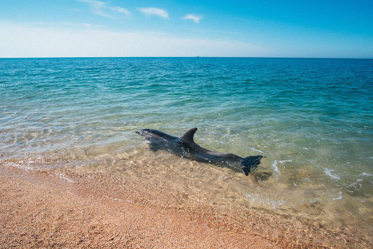 Дельфин у берега в Крыму